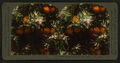 Orange Blossoms and Fruit, Los Angeles, Cal., U.S.A, by Singley, B. L. (Benjamin Lloyd) 7.png