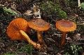 Orangerandiger Hautkopf Cortinarius malicorius.jpg