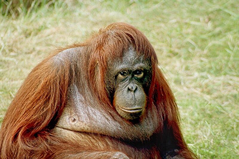 Rare Orungutans in Borneo