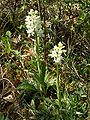 Orchis mascula var. alba Saarland 01.jpg