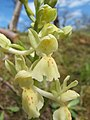 Orchis provincialis 008.jpg