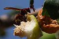 Oriental wasp (vespa orientalis).jpg