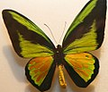 Ornithoptera goliath 3zz.jpg