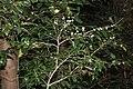 Osmanthus heterophyllus s2.jpg
