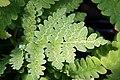 Osmunda claytoniana 15zz.jpg