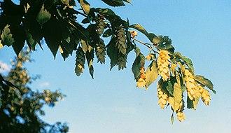 Ostrya - Ostrya virginiana