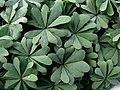 Oxalis adenophylla (5597149538).jpg