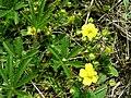 PP Na Popovickem kopci 042 Potentilla heptaphylla.jpg