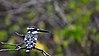 P Kingfisher 00001.jpg