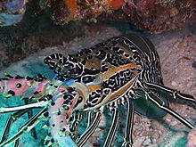 Painted lobster on Pom Pom Island, Celebes resort, Sabah.JPG