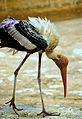 Painted stork 1.JPG