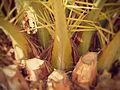 Palmera común pero una reliquia 2 (raices de las palmas).JPG