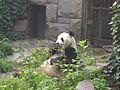 Panda eats (2666957606).jpg