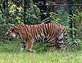 Panthera tigris - Serengeti-Park Hodenhagen 2017 02.jpg