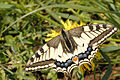 Papilio.machaon.-.lindsey.jpg