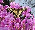 Papilio machaon on Rhododendron s2 dilatatum.JPG