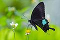 Papilio paris nakaharai 20140628.jpg