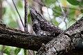 Papuan Frogmouth (Podargus papuensis) (31374061025).jpg