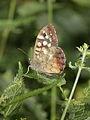 Pararge aegeria (Nymphalidae) (7124162395).jpg