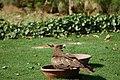 Pariah kite (18379784235).jpg