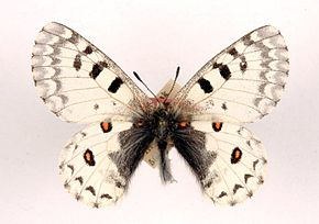 Description de l'image Parnassius ephaphus ulster.jpg.