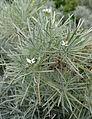 Parolinia ornata kz1.JPG