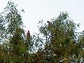 Parrots - panoramio.jpg