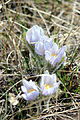 Pasqueflowers (14157302413).jpg