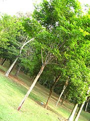 Bosque de Paus-brasil no Jardim Botânico de São Paulo