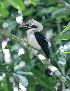 Mindanao hornbill species of bird