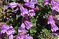 Penstemon davidsonii close.jpg