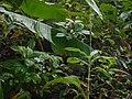Peristylus plantagineus (20761588483).jpg