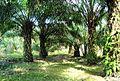 Perkebunan kelapa sawit milik rakyat (20).JPG