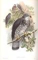 Pernis Apivorus.tif