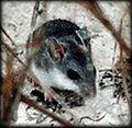 Peromyscus polionotus phasma.jpg