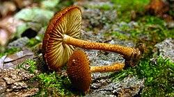 Phaeomarasmius erinaceus 50790.jpg