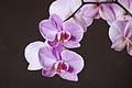 Phalaenopsis cultivar 01.jpg