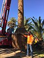 Phoenix canariensis Root Ball for Universal Studios South Coast Wholesale.jpg