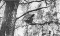 Photograph of Ruffed Grouse - NARA - 2127459.tif