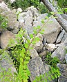 Phyllanthus caroliniensis.jpg