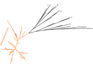 Zetaproteobacteria - Phylogenetic tree showing the phylogenetic placement of the Zetaproteobacteria (orange branches) within the Proteobacteria. Asterisks highlight the Zetaproteobacteria cultured isolates.