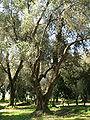 Piana Gioia Tauro - Ulivo secolare01.jpg