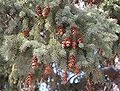 Picea glauca UGA.jpg