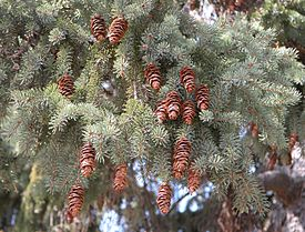Vauged kuz' (Picea glauca)
