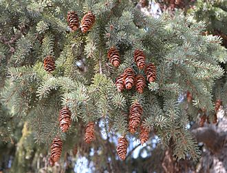 Picea glauca - Foliage and cones