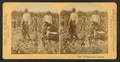 Picking cotton, Georgia, from Robert N. Dennis collection of stereoscopic views.png