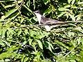 Pied (Jacobin) Cuckoo (29777520513).jpg