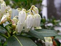 Sarcococca japonica (1) .jpg