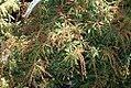 Pieris japonica Compacta 1zz.jpg