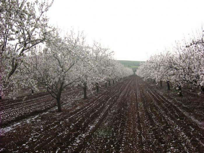 PikiWiki Israel 1601 Almond trees blossom כרם שקדים בכפר תבור בפריחה